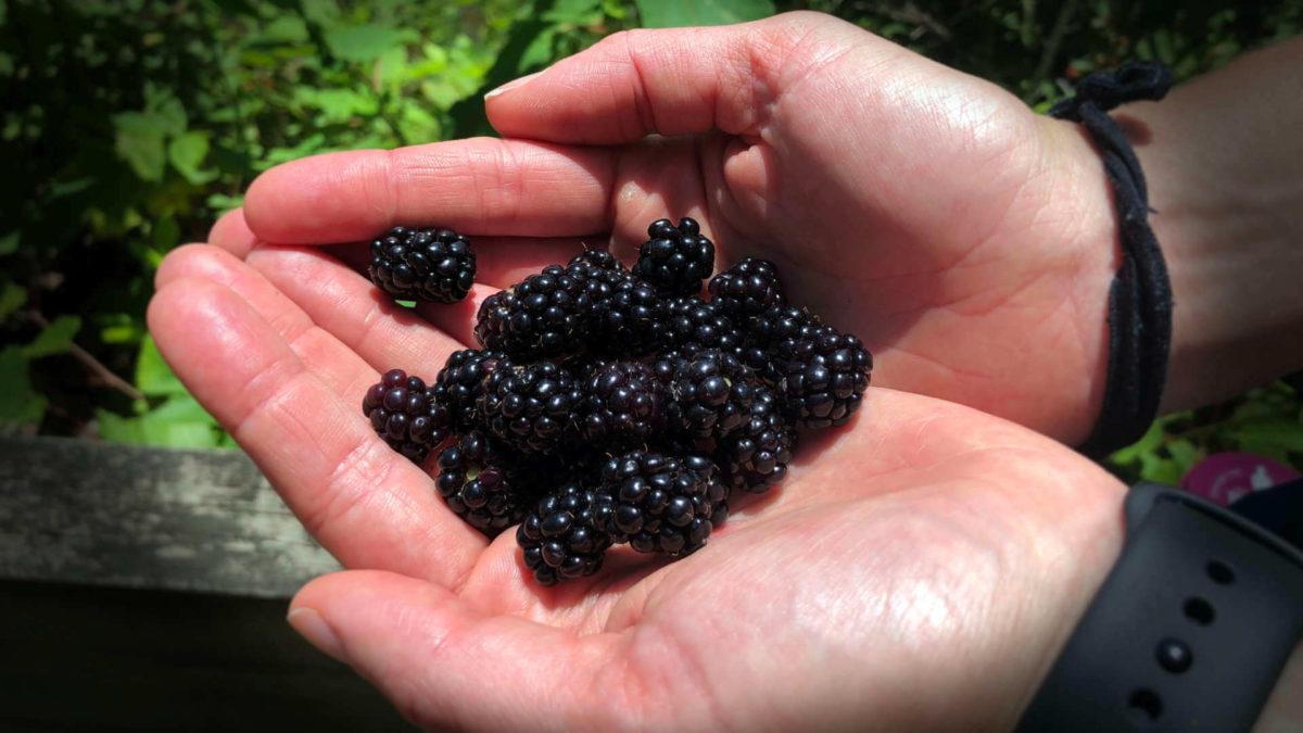 Finding wild blackberries in Virginia, our June 2020 monthly review.